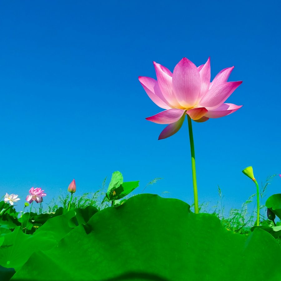 Bright Lotus Flower